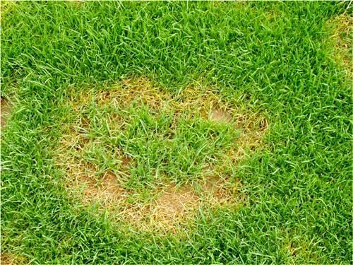 Fusarium de verano