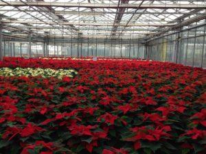 La Poinsettia florece en epoca de invierno debido al fotoperiodo