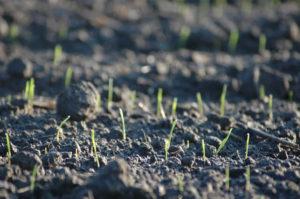 Que cuidados debemos tener en cuenta una vez procedemos a sembrar el césped profesionalmente