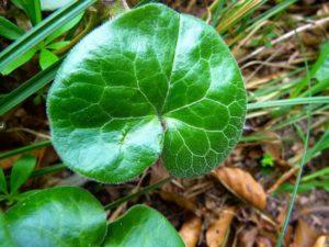 Dichondra repens y características de la planta