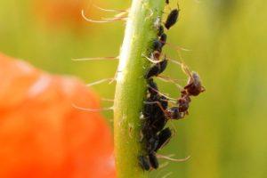 Hormigas, sácalas de tu huerto y jardín con estos remedios