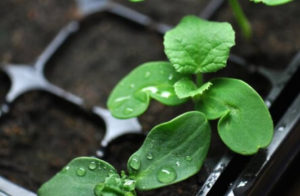 Césped ecológico de variedad dichondra