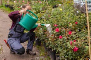 plantar rosales_ el riego