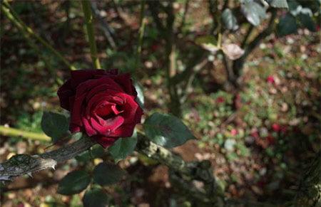 Blanck Baccara Tipos de rosales