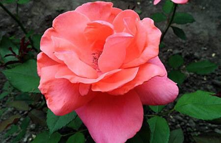 Mademoiselle Meilland - Tipos de rosales