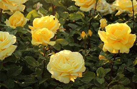 Nicolas Hulot - Tipos de rosales