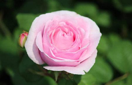 Princesse Charlene de Monaco - Tipos de rosales