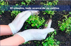 Todo lo que necesitas saber acerca del cultivo del cilantro