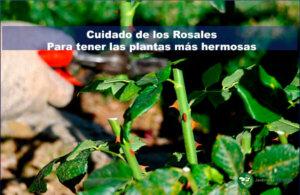 cuidado de los rosales