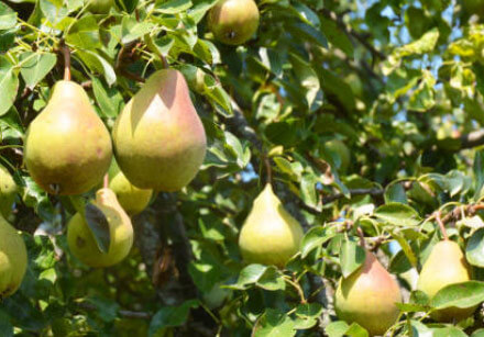 Peral - Frutales ecológiocs