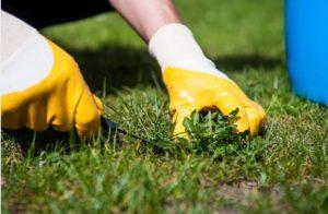 Malas hierbas en el césped manual