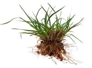 malas hierbas en el césped gramineas