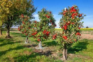 Manzano frutales enanos