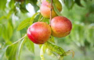 Nectarino frutales enanos