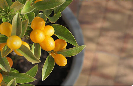 Kumquat Frutales cítricos