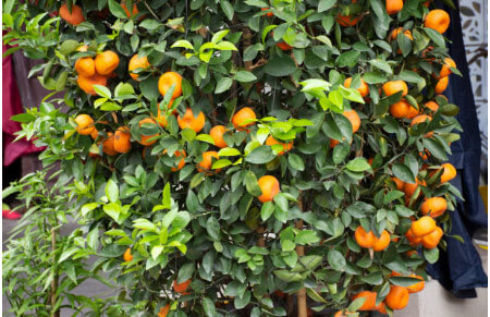 mandarino frutales cítricos