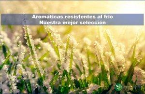 aromáticas resistentes al frío. nuestra mejor selección