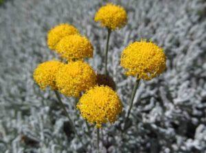 Santolina plantas resistentes