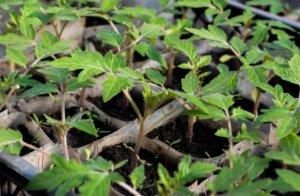 hortalizas y aromáticas tareas del jardín en febrero