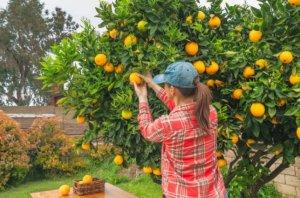 Tipos de arboles frutales cítricos