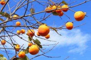 tipos de arboles frutales variados