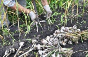 tareas del jardín en agosto hortalizas